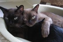 Burmese and Burmilla cats / Consider yourself blessed to be owned by one, the other, or BOTH!