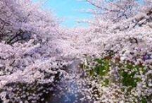The best SAKURA OHANAMI spot in Kyoko and Tokyo and Tohoku / 花見旅行に行こう!桜前線上昇中!Let's go to Hanami travel!