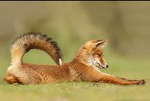 Fantastic Foxes! / Foxes