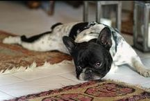 Love French Bulldogs