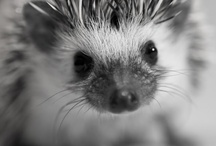 HEDGEHOGS. / by Sam Mayberry