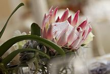 Proteas my fave / My gunsteling blom