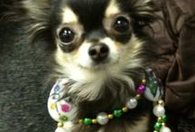 Chihuahuas and other Creatures that are small Too<3 / Chihuahua Lovers,pics &ect..... / by Sharon Clyatt