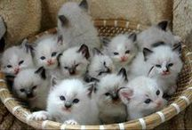 """Ragdolls / """"Time spent with cats is never wasted."""" ~Sigmund Freud"""