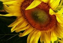 sunflowers / by ellen erhard