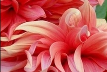 we grow dahlias and succulents / by Laura Beck
