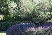 Lavender / by Bridget
