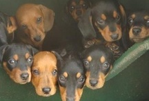 dachshunds / by Georgia Dachshund Races