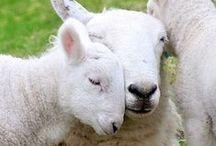 - SHEEP -