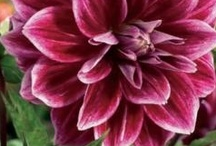 Bulbs for spring planting / Summer blooming bulbs are available for purchase and planting in March and April.