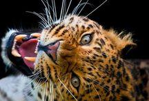 Big Cats / Big Cats / by Christine Haden