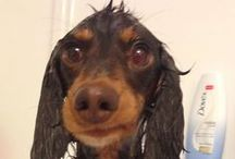 Oh I Wish I Had A Mini Long Hair Weiner / I just discovered that I'm in love with mini long hair Dachshunds!!! / by Patty Stagg