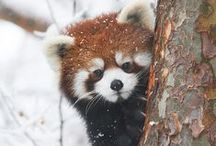 The Original Panda / While red pandas share a name with giant pandas, they're actually not bears at all. Their closest relative is the raccoon.