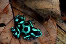 Awesome Amphibians / The awesomeness of animals that live part of their lives in water and part on land.