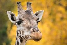 Giraffic Park / The tallest land mammals are also one of the coolest land mammals.
