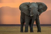 Elephants / Large and in charge
