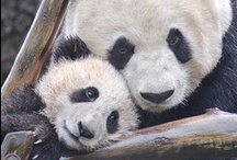 Giant Pandas / With six cubs born to date, our unprecedented success has contributed to a global baby boom that has reached 300 pandas in zoos and breeding centers, the target population size necessary for sustaining the species into the future.