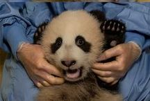 "The One & Only Mr. Wu / The 6th panda cub born to mother Bai Yun, Xiao Liwu (""little gift""), also known as ""Mr. Wu,"" really is a gift to us and his species.  / by San Diego Zoo"
