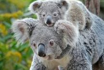 Koalafornia / Enjoy a slice of down under SoCal style at our new Conrad Prebys Australian Outback exhibit, now open. www.sandiegozoo.org/koalafornia