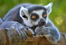 Lemur Walk / Today, the Safari Park's Lemur Walk offers an immersive experience to get up close to these most interesting mammals. At the Zoo, red-collared and ring-tailed lemurs can be seen on Center Street.  / by San Diego Zoo