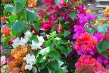 Garden - Tropical / Tropical plants for pool surrounds, preferably waterwise but not required. Colourful reddish flowers for day time, fragrant white flowers for  night time. May need trees to be deciduous on north side.