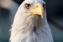 Eagle / by Linda Morefield