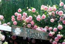 roses, roses, roses / by Clara Sledd