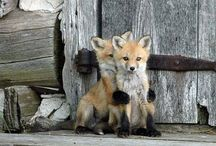 foxes / by Becky Strahle