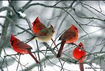 ♥♥♥...love my red birds....♥♥♥ / by Debra Smitherman Thompson