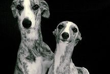 Whippets and Iggy's / Love these dogs!!!!  / by Jackie Murnane