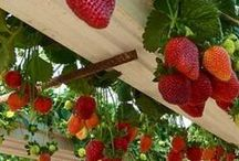 Vertical strawberries