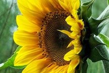 """Sonflowers"""") / My favorite flower of all is sunflowers. They make me happy"""") A field of them all facing upward toward the sun is the best! I am reminded of my love for the SON whenever I see one... / by Alta Blake"""