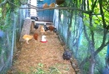 Chicken Coop and other Chicken things / We have chooks and its inspiring to see what others do for theirs.