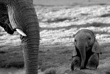 How Elephants Do Life!