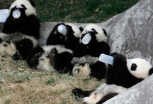 pandas / See, black and white DO go together very well! What darling creatures.