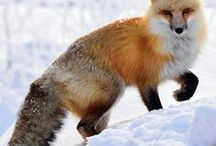 Foxes! / So pretty. I used to often see foxes when I lived elsewhere. Kinda miss them.
