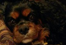 Cavalier King Charles Spaniels/Dog Accessories/dogs / by Missy Asher