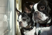 Boston Terriers---The More the Merrier / by Roxanne Rossbach