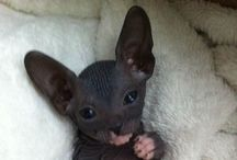 Sphynx Cat Cute / by Laura M. LaVoie