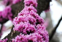 Flowering and Fruit Trees