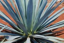Agave / by Suerte Tequila