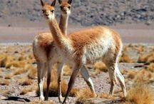 Zona de Vicuñas / Pampa Cañahuas, ubicado en Arequipa, es el gran paraje de las vicuñas.