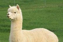 Alpacas con Peinados Tops / Las alpacas son animales domesticados que viven en el Perú y en otros países de Sudamérica. Ellos son criados para obtener su preciada lana. Disfruta de los peinados tops que le pueden hacer a las alpacas.