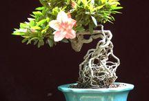 bonsai / the art of japanese bonsai