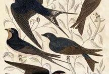birds / bird illustration