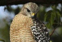 Hawks and other cute animals / lots of cute animals... and hawk photos b/c i like hawks