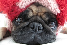 Pugs, Frenchies & Bulldogs / Squishy faced Pugs, French Bulldogs and English Bulldogs / by NICOLA