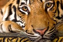 Eye of the Tiger / Rawr!! We love tigers!