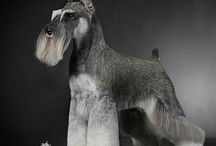 PETS : Schnauzers / My most favourite dogs! [Owner of 5!]