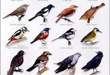 Artist: John James Audubon